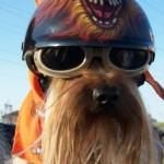 hond met bril 8