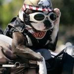 hond met bril 6
